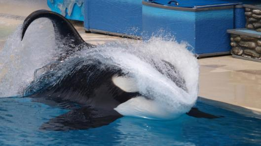 Orca collapsed dorsal