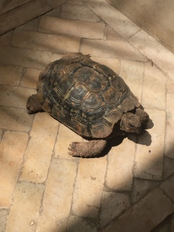 One of the resident tortoises.